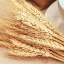 Hazon Detroit: The Wheat Harvest