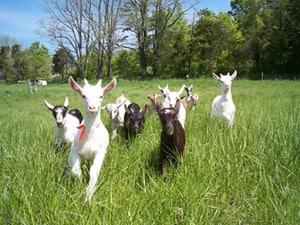 goatsrunning
