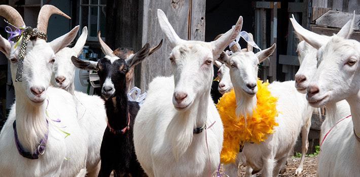 shavuot_goats-710x350