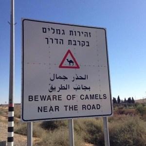 Israel Ride camels