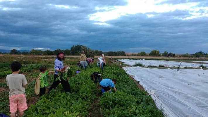 beet-harvest